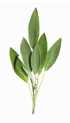 the clinical efficacy of salvia officinalis Spanish sage (salvia lavandulaefolia) is a related species with similar components, although its thujone content is lower sage is often misidentified and adulterated salvia bertolonii or salvia pratensis are sometimes used in instead of salvia officinalis or as an adulterant.